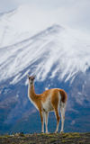 Guanaco stands on the crest of the mountain backdrop of snowy peaks. Torres del Paine. Chile. An excellent illustration stock photos