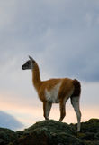 Guanaco stands on the crest of the mountain backdrop of snowy peaks. Torres del Paine. Chile. Stock Image