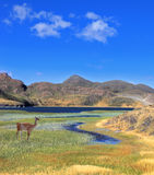 A guanaco stands on the shore of blue lake Stock Photo