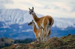 Guanaco steht auf dem Kamm des Gebirgshintergrundes der schneebedeckten Spitzen Torres Del Paine chile Lizenzfreie Stockbilder