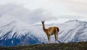 Guanaco steht auf dem Kamm des Gebirgshintergrundes der schneebedeckten Spitzen Torres Del Paine chile Lizenzfreie Stockfotografie