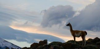 Guanaco steht auf dem Kamm des Gebirgshintergrundes der schneebedeckten Spitzen Torres Del Paine chile Stockfotos