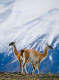 Guanaco steht auf dem Kamm des Gebirgshintergrundes der schneebedeckten Spitzen Torres Del Paine chile Lizenzfreie Stockfotos