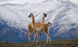 Guanaco steht auf dem Kamm des Gebirgshintergrundes der schneebedeckten Spitzen Torres Del Paine chile Stockbild