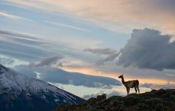 Guanaco steht auf dem Kamm des Gebirgshintergrundes der schneebedeckten Spitzen Torres Del Paine chile Stockfotografie