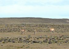 Guanaco in Tierra del Fuego Stock Afbeeldingen