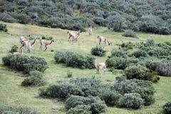 Guanaco in Tierra del Fuego Royalty-vrije Stock Fotografie