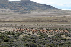 Guanaco in Tierra del Fuego Stock Afbeelding