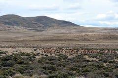 Guanaco in Tierra del Fuego Royalty-vrije Stock Afbeeldingen