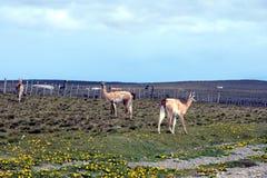 Guanaco in Tierra del Fuego Stockbild