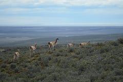 Guanaco in Tierra del Fuego Stock Photography