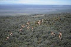 Guanaco in Tierra del Fuego Royalty Free Stock Photography