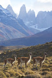 Guanaco in Torres del Paine, Chile Stock Photo