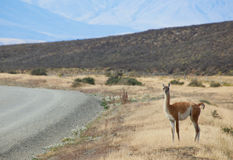 Guanaco in Torres del Paine, Chile, South America Stock Photography