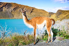 Guanaco, Torres del Paine, Chile Stock Photos