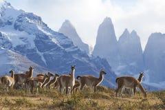 Guanaco in Torres del Paine, Cile Fotografie Stock Libere da Diritti
