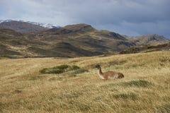 Guanaco, Torres del Paine, Cile Fotografia Stock Libera da Diritti