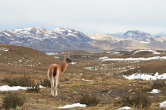 Guanaco in the Torres del Paine Stock Photo