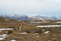 Guanaco in the Torres del Paine Stock Images