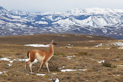 Guanaco in the Torres del Paine Stock Photos