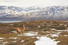 Guanaco in the Torres del Paine Royalty Free Stock Photography