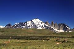 Guanaco in Torres del Paine nationaal park Royalty-vrije Stock Afbeelding