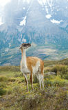 Guanaco in Torres del Paine national park Stock Photos
