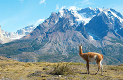 Guanaco in Torres del Paine national park Royalty Free Stock Photo