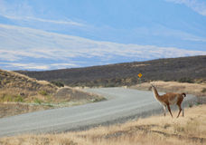 Guanaco in Torres del Paine national park Royalty Free Stock Photos