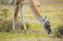 Guanaco in Torres del Paine national park Royalty Free Stock Images