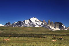 Guanaco in Torres del Paine National Park Royalty Free Stock Image