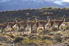 Guanaco in Torres del Paine National Park, Chile Royalty Free Stock Images