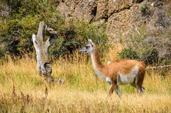Guanaco, Torres del Paine National Park, Chile. A guanaco staring at a tree in the Torres del Paine National Park, Patagonia, Chile royalty free stock photos