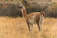 Guanaco in Torres del Paine National Park, Patagonië, Chili, Stock Foto