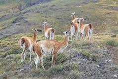 Guanaco in Torres Del Paine, Patagonië, Chili Stock Foto's