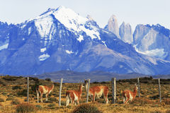 Guanaco in Torres Del Paine, Patagonia, Chile Stock Photo
