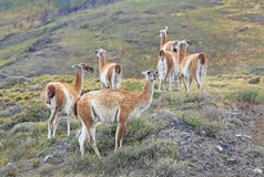 Guanaco in Torres Del Paine, Patagonia, Chile Stock Photos