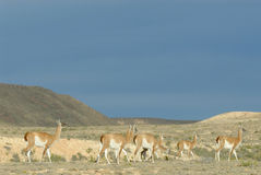 Guanaco Troop in Patagonia Royalty Free Stock Photo