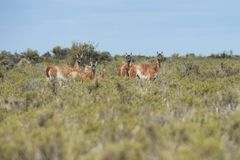 Guanaco in the Valdes Peninsula. In the Valdes Peninsula it`s possible to see the Guanaco. Peninsula Valdes in Patagonia is a site of global significance for the royalty free stock photo