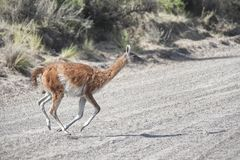 Guanaco in the Valdes Peninsula. In the Valdes Peninsula it`s possible to see the Guanaco. Peninsula Valdes in Patagonia is a site of global significance for the stock photo