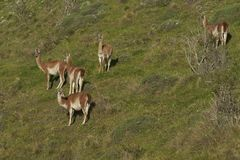 Guanaco in Valle Chacabuco, Patagonia. Group of Guanaco [Lama guanicoe] on a hillside in Valle Chacabuco, northern Patagonia, Chile Royalty Free Stock Image
