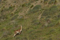 Guanaco in Valle Chacabuco, Patagonia. Guanaco [Lama guanicoe] on a hillside in Valle Chacabuco, northern Patagonia, Chile Stock Images