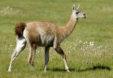 Guanaco walking Royalty Free Stock Images