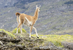 Guanaco Walking in a Hill Royalty Free Stock Photo