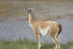 Guanaco by water Stock Images