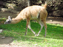 Guanaco in the zoo. South American camelid wild animals Royalty Free Stock Images
