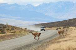 Guanacoes crossing the road in Torres del Paine Royalty Free Stock Photo