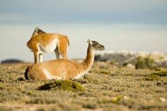 Guanacoes dans la steppe patagonian Photos stock
