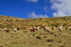 Guanacoes (guanicoe della lama) Immagini Stock