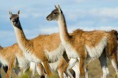 guanacoes patagonii Obraz Stock